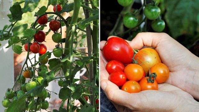 Odla tomater 4 tips