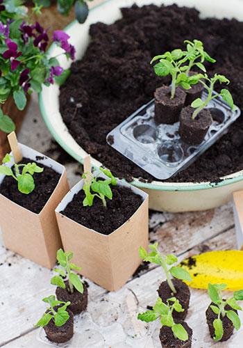 Förodla tomater med easy to grow