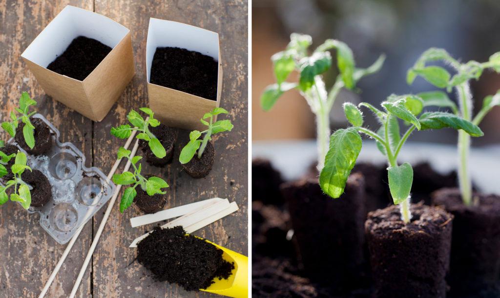 Förodla tomater - så kommer du igång enkelt och snabbt.