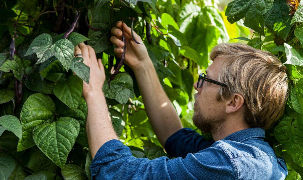 Anders Stålhand odlar bönor