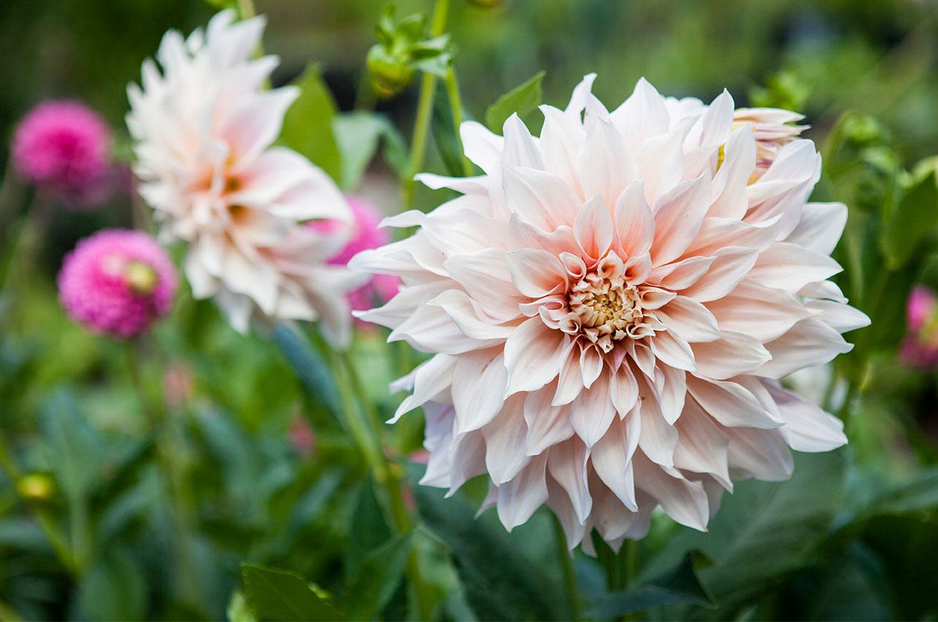 Dahlia i den lilla trädgården