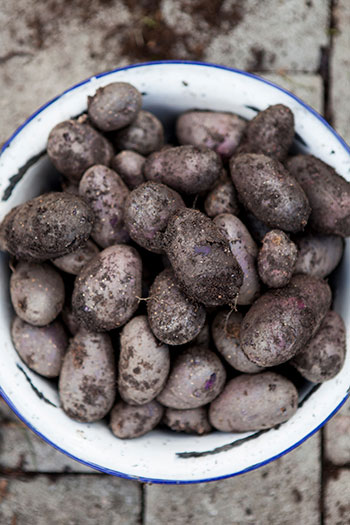 Gödsel till potatis