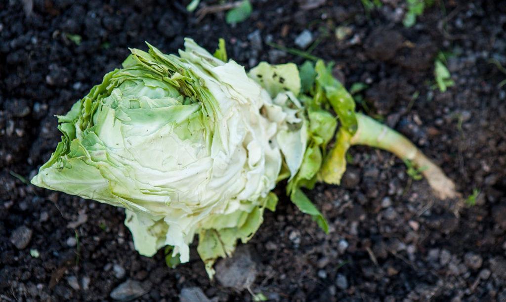 Spetskål kan vara en utmaning att odla