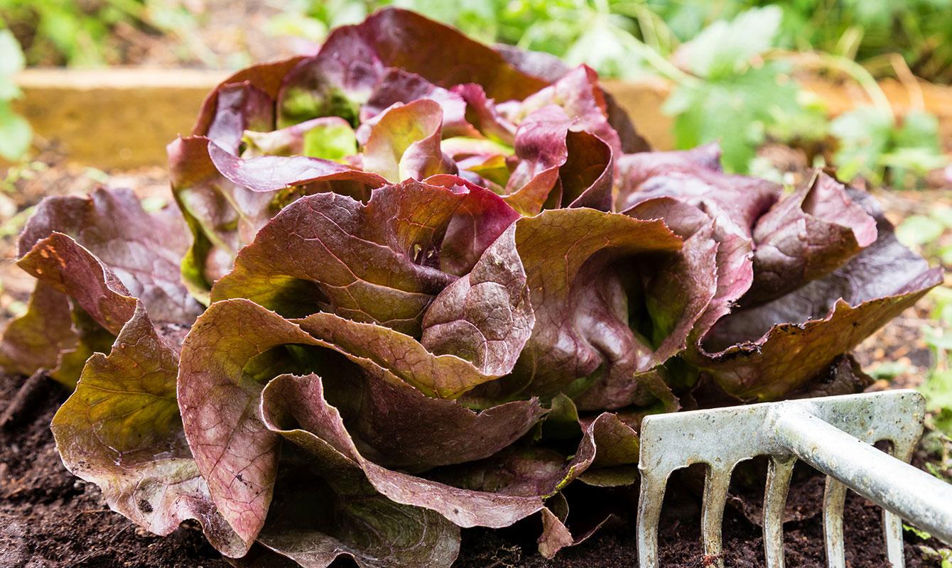 Egenodlad sallat – Merveille des quatre saisons