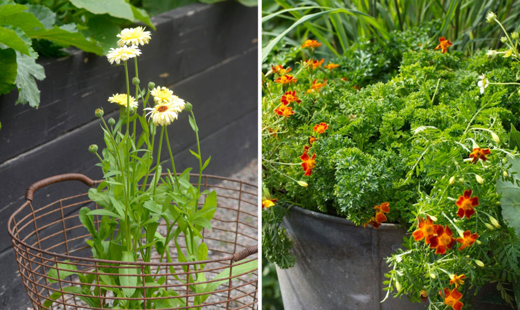 Ätbara blommor – ringblomma och tagetes