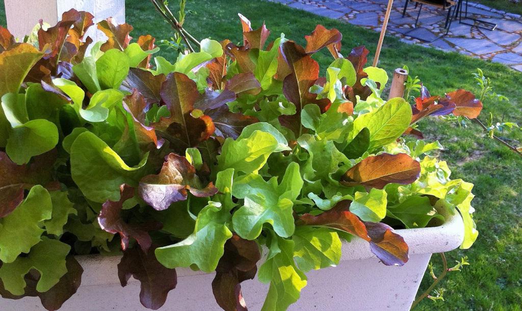 Baby Leaf sallat