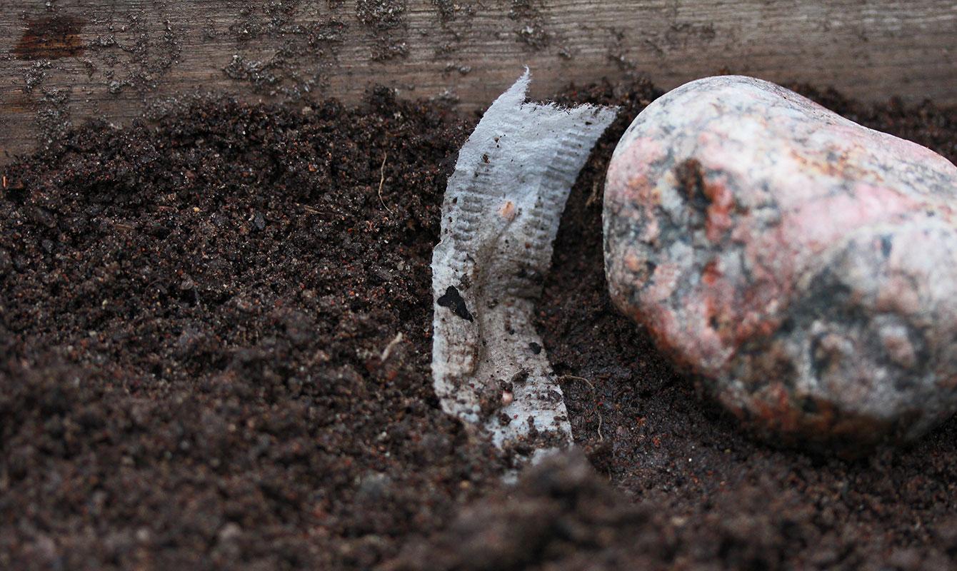 Såband som sticker upp ur jorden