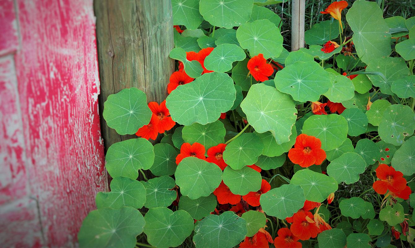 Ätbara blommor - Buskkrasse är en ätbar växt. Både blommor och blad går att äta och bjuder på en lite pepprig smak.