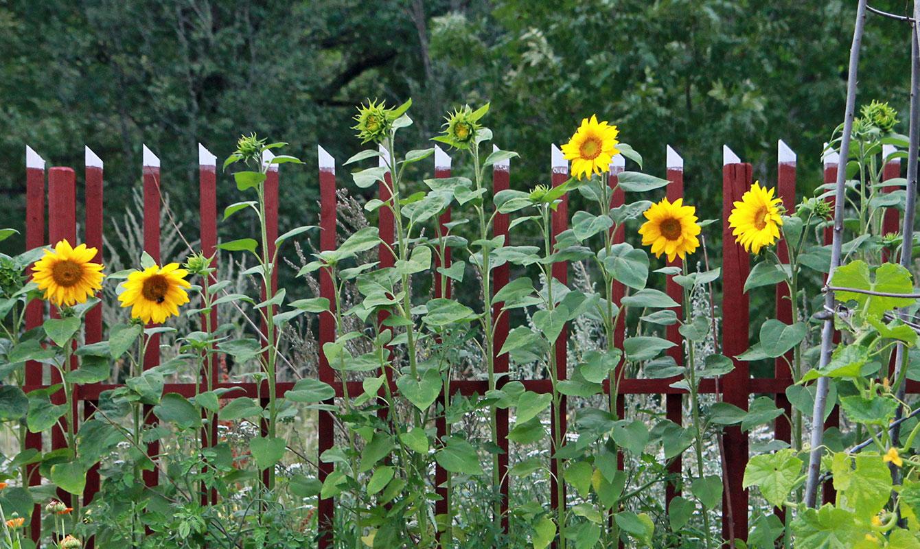 Ätbara blommor - Solros. Njut både av knopparna, kronbladen och fröna som bildas i blommornas mitt.