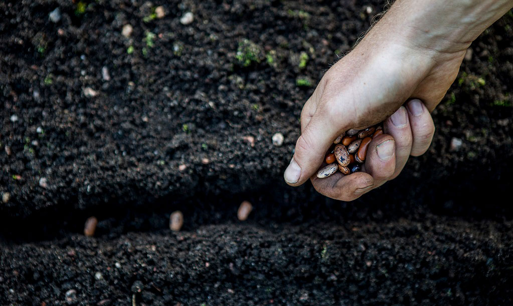 Bönor kan direktsås när jorden har blivit varm - över 15 grader.