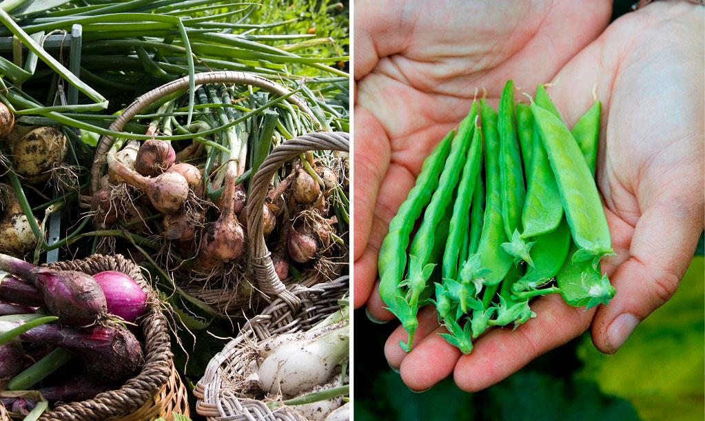 Lättodlade grönsaker att direktså