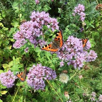 Blommor som fjärilar älskar - här blommande oregano.