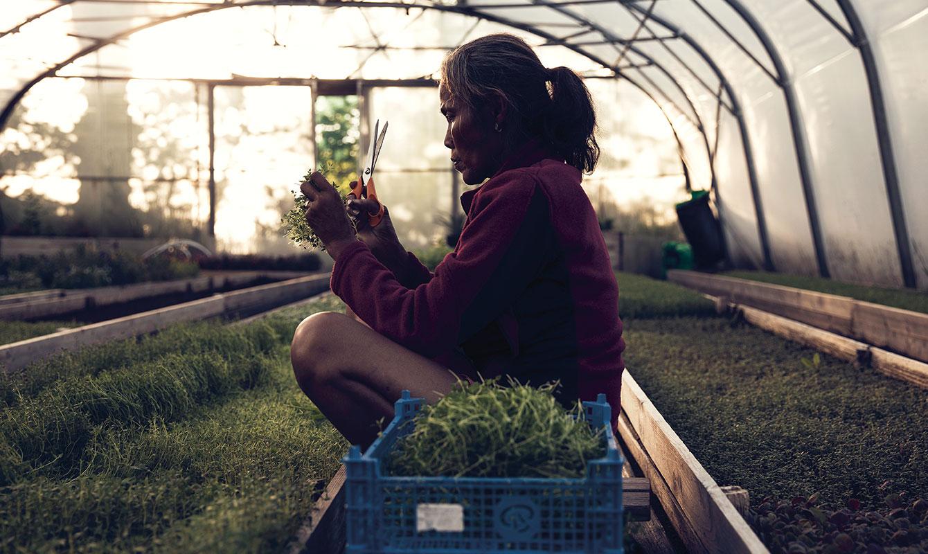 Sutip Austad plockar grönsaker