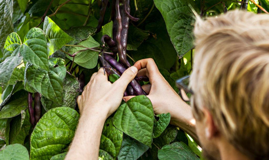 Lättodlade bönor här i vackert mörklila - Anders Stålhand odlar sorten på Botaniska trädgården i Göteborg.