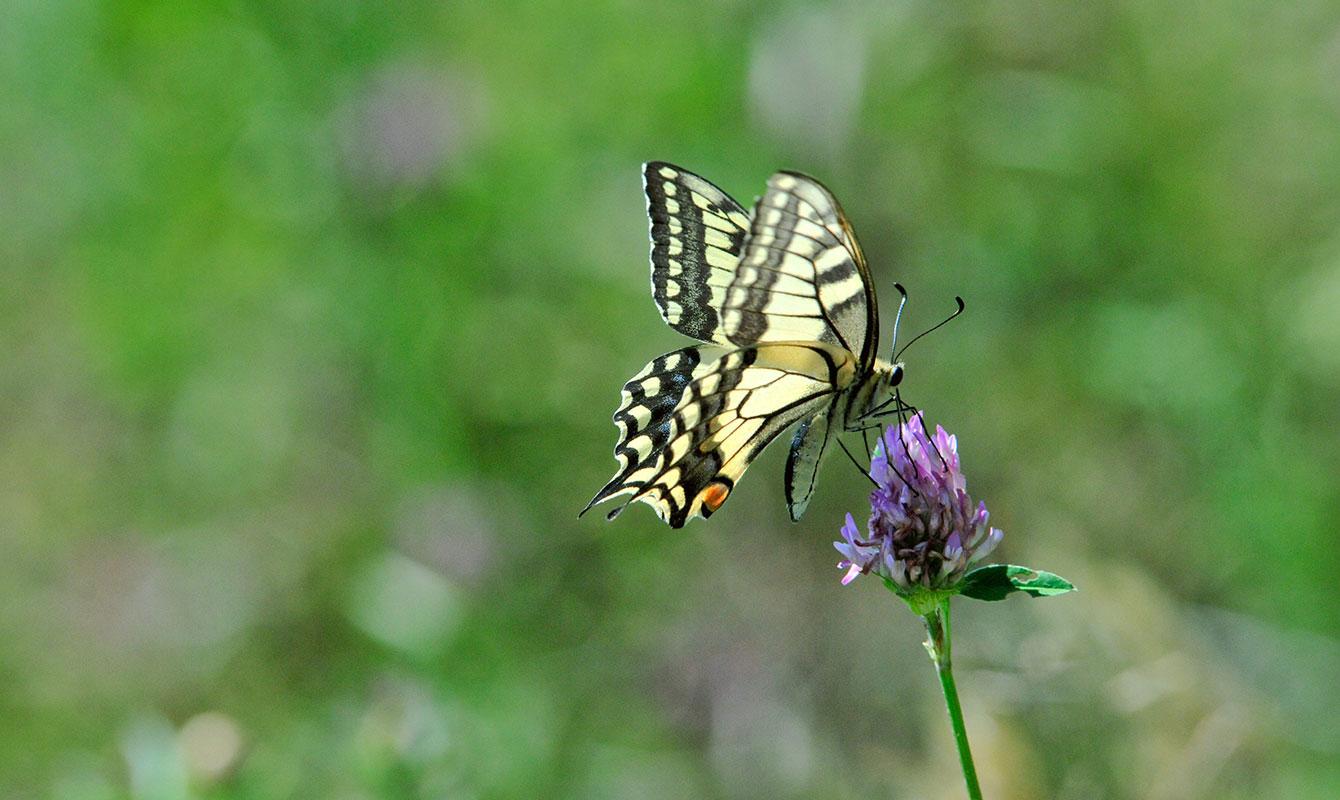 Blommor som fjärilarna älskar - ängsblommor som här klöver.