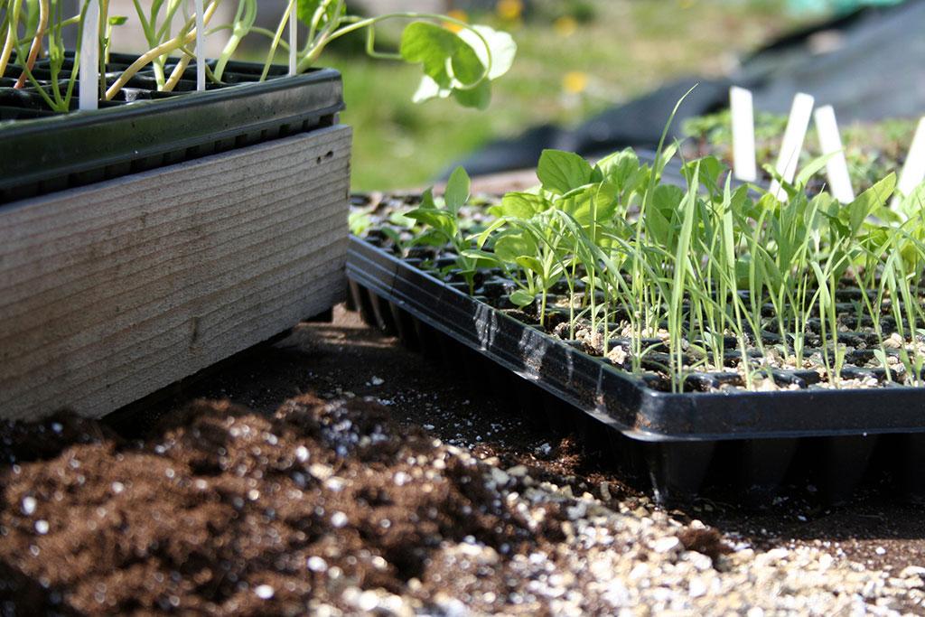 En god idé är att ha småplantor att fylla luckorna i landet med efter skörd.