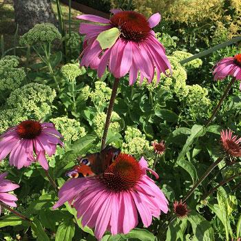 Planera din trädgård så att fjärilarna trivs och får hjälp att överleva. På bilden röd rudbeckia.