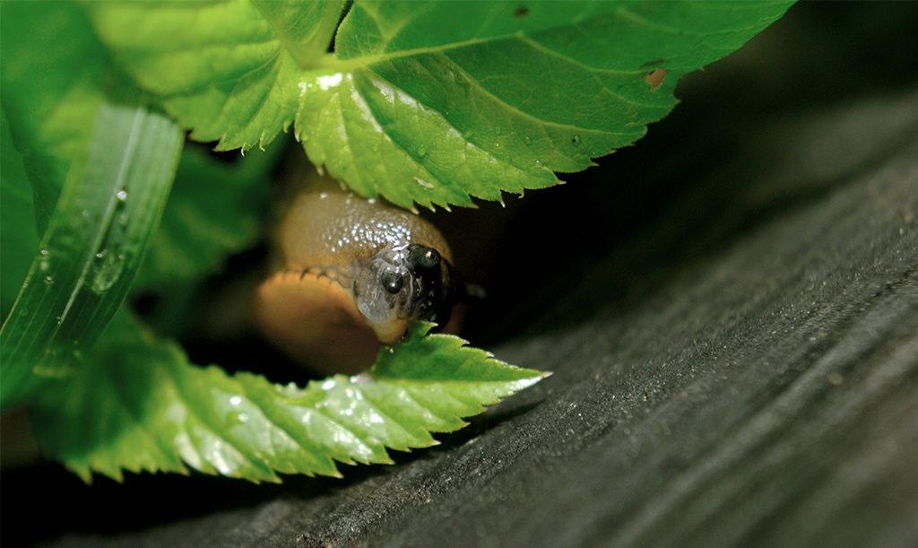 Spansk skogssnigel, även känd som Mördarsnigel, äter upp det mesta i trädgården. Skydda dig mot mördarsniglarna.