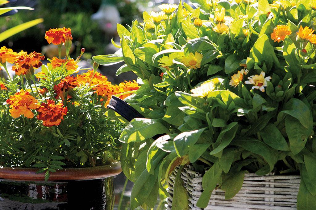Ringblomma och tagetes är populära i grönsakslandet, men är precis lika fina och lättodlade i kruka