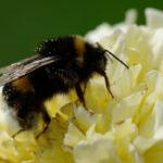 Humlan är en av våra viktigaste pollinerare