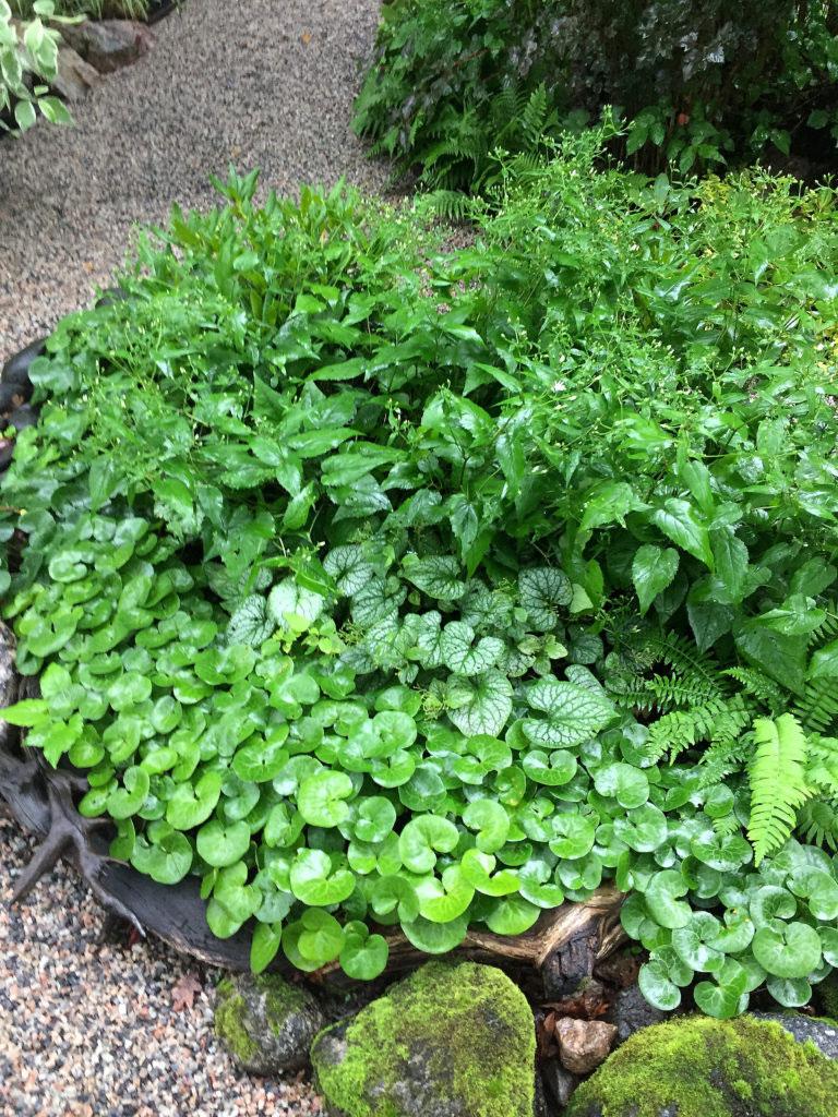 Låt bladens form skapa kontrast i dina gröna rabatter. Hasselörtens lågväxande sätt och runda bladverk återkommer på flera platser i trädgården.