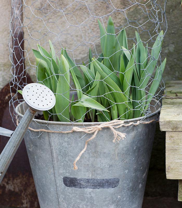 Gör ett eget rådjursskydd till dina tulpaner