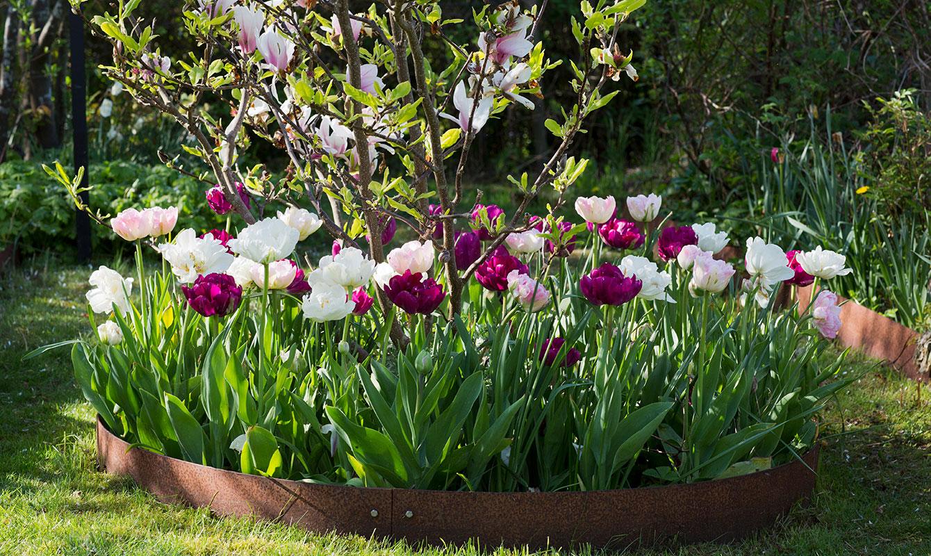 Tulpaner tillsammans med magnolia