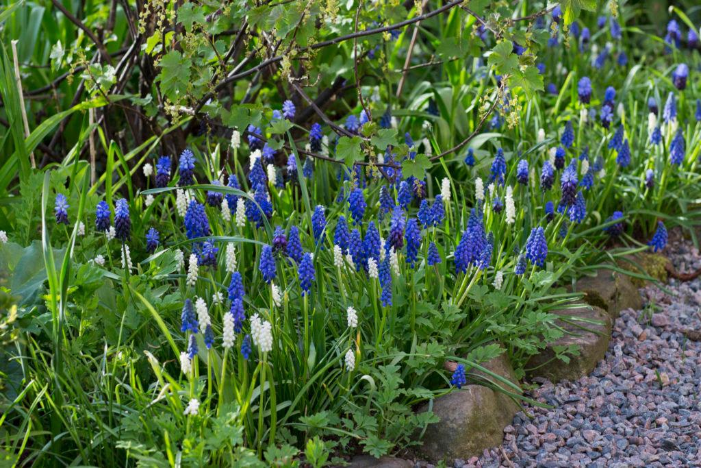 Pärlhyacinter blommar år efter år och de fortsätter dessutom att sprida sig om de trivs bra. Foto: Annika Christensen