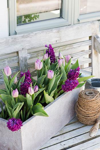 i lökmixen 'Pink Perfume' kombineras de rosa tulpanerna med väldoftande hyacinter. Odla dessa i kruka och kom doften riktigt nära! Foto: Annika Christensen