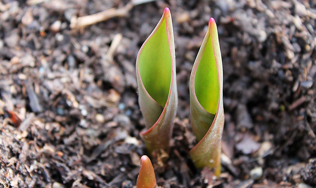 Tulpaner tittar fram på våren. Foto: Pixaby