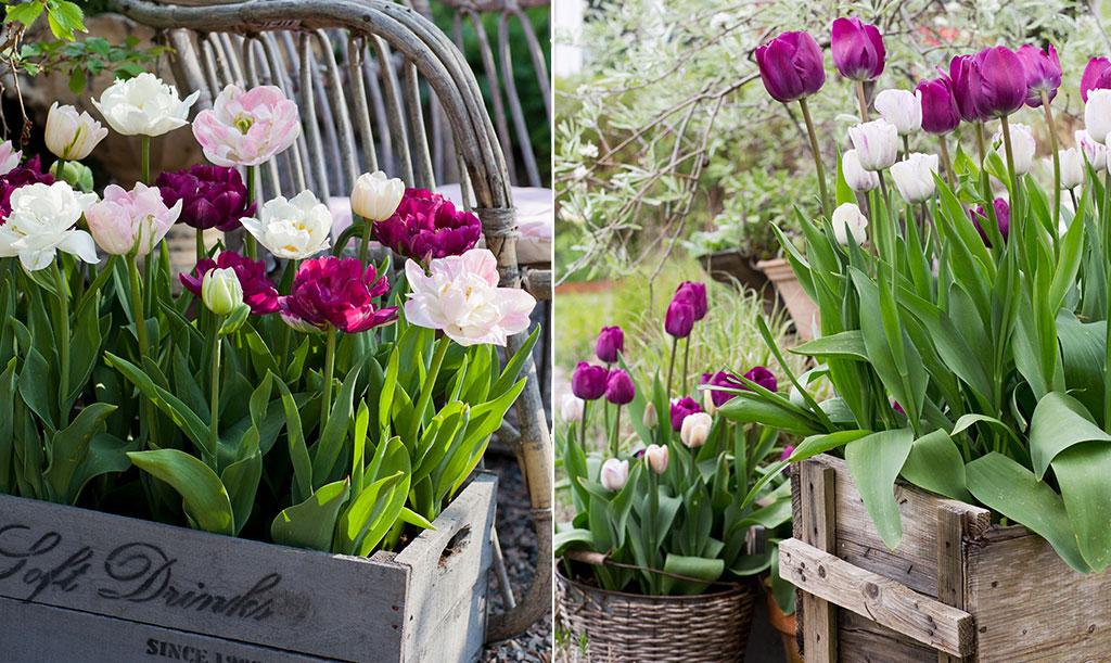 Tulpanmixarna 'Perfect Partners' och 'Sparkling Purple' passar bra att odla i kruka.