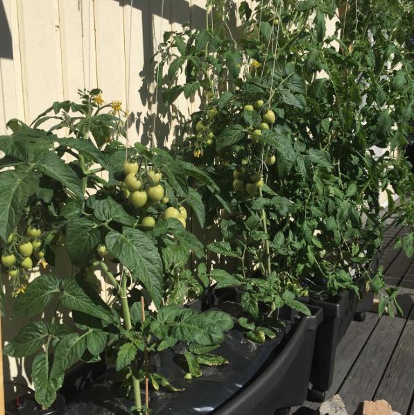 Tomater älskar värme och trivs utmärkt intill väggen.