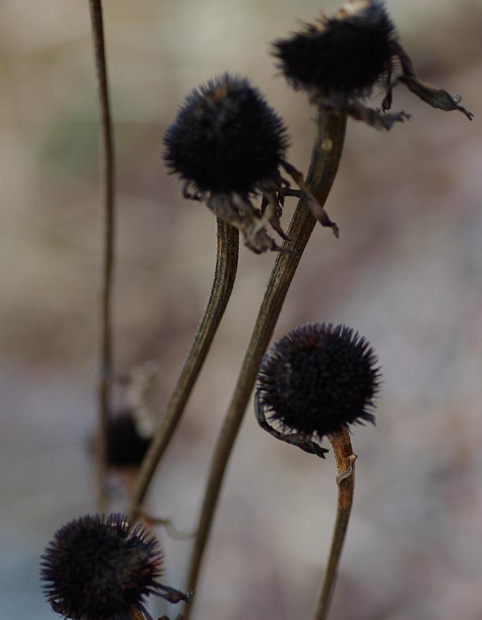 Blomstänglar