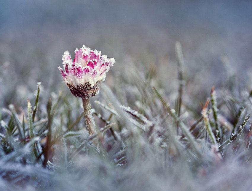 Frostnätter – årets sista såväl som första – vill varje odlare vill vara uppmärksam på.