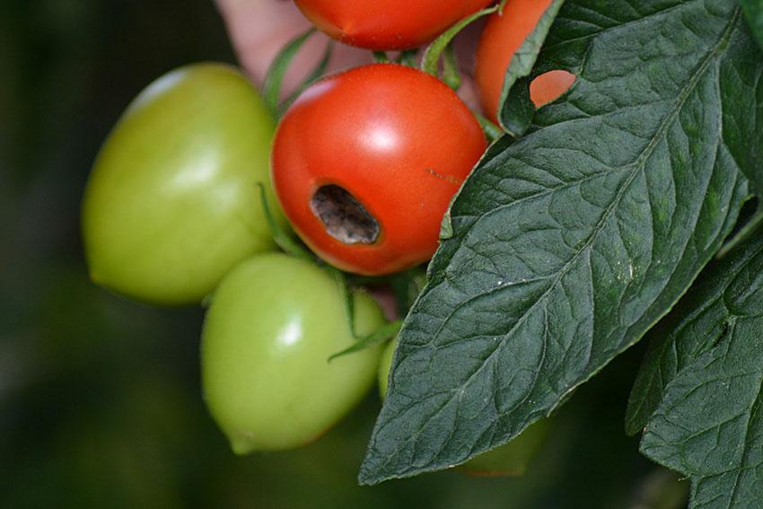 Pistillröta är knappast någonting som får en tomatodlare att jubla- Vissa sorter verkar vara könsligare än andra. Problemen tycks också uppstå till följd av ojämn bevattning. Kanske har du svarat i din dokumentation?