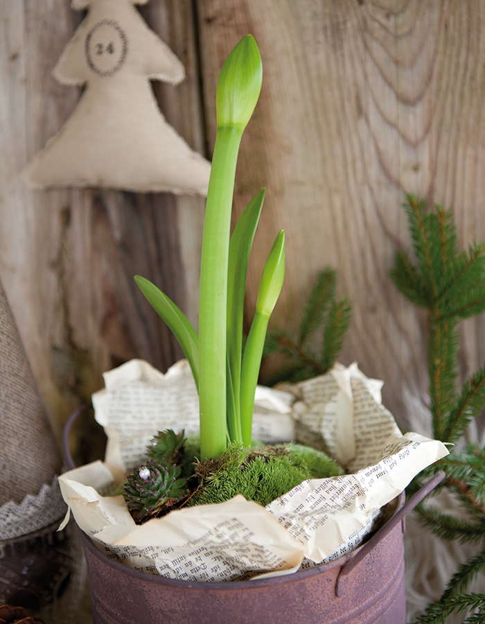 Plantera om din amaryllis utomhus