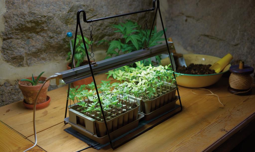 Växtbelysning till chiliplantorna
