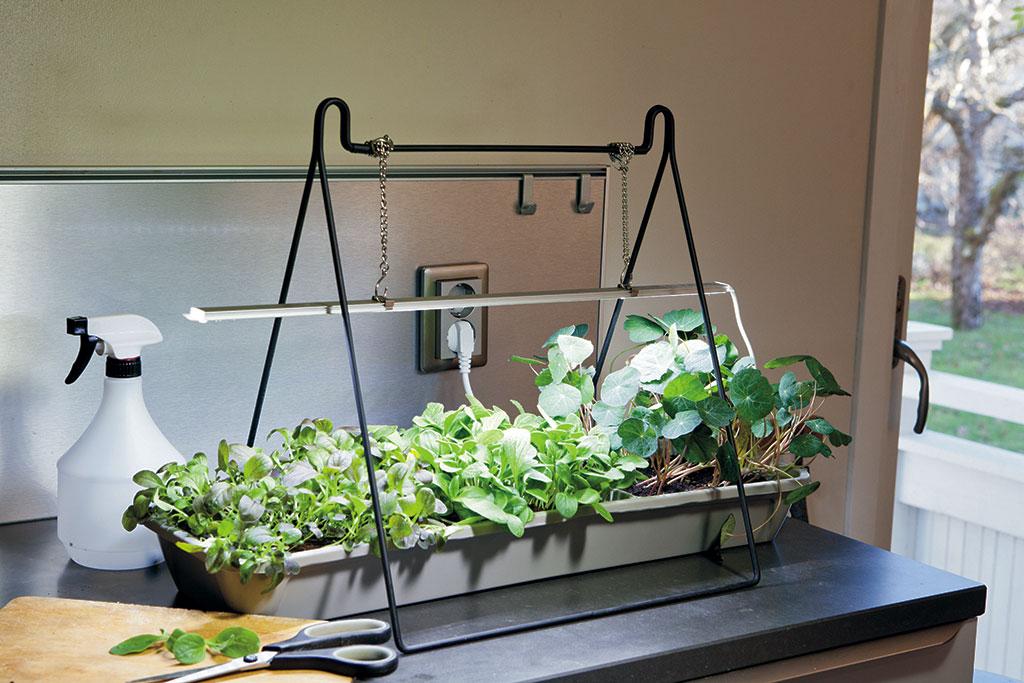 Vill du skörda pigga mikroblad från köksbänken på vintern så är det bra med växtbelysning. Ju längre in i köket din odling står, desto svårare är det för det lilla dagsljuset att nå in. Foto: Annika Christensen