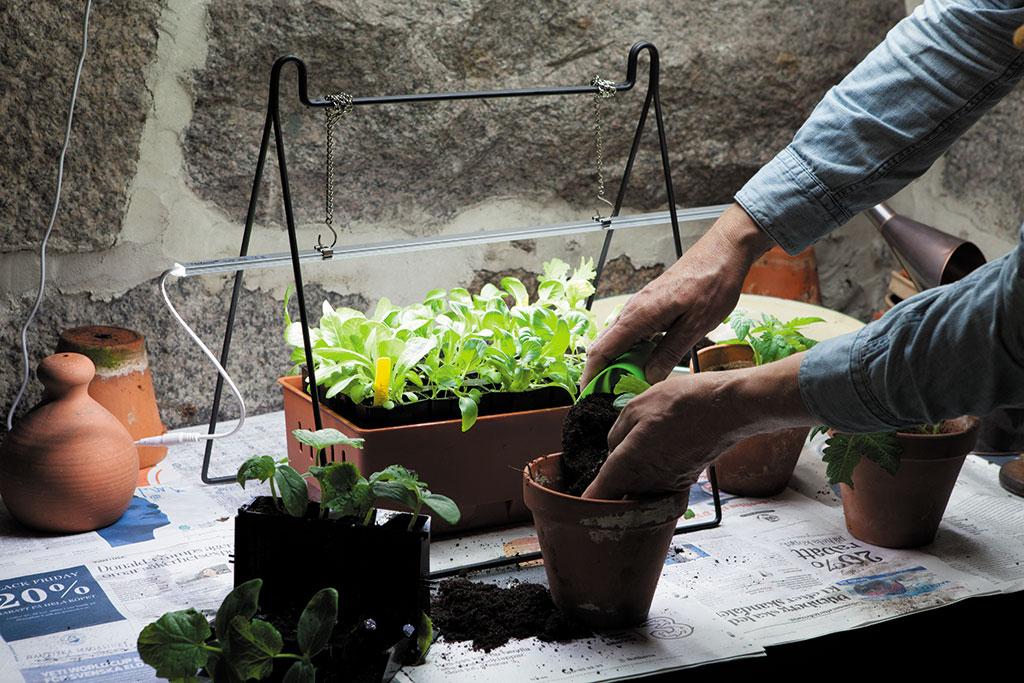 Med växtbelysning kan du starta din förodling både tidigare och i större skala. Då är du inte beroende av varken fönster eller dagsljus. Foto: Annika Christensen