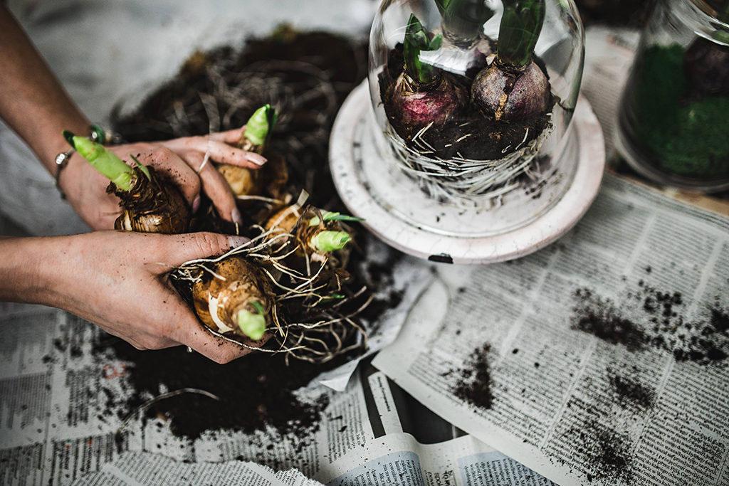 Även om dina läkar har börjat växa kan du plantera om dem. Var försiktig med lökarnas rötter, särskilt om de har trasslat ihop sig.