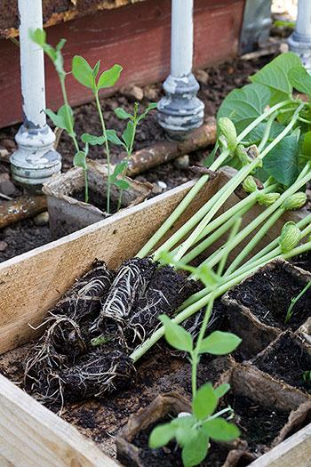 Bönor kan försås men gillar inte att planteras ut för tidigt. Efter några veckor vill de börja klättra, och då är det bra om det slutgiltiga växtplatsen är redo. Foto: Annika Christensen