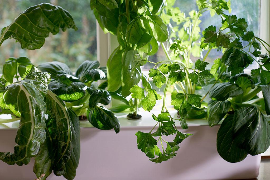 Bladgrönt och kryddor fungerar särskilt bra att odla i vatten. Foto: Peter Carlsson