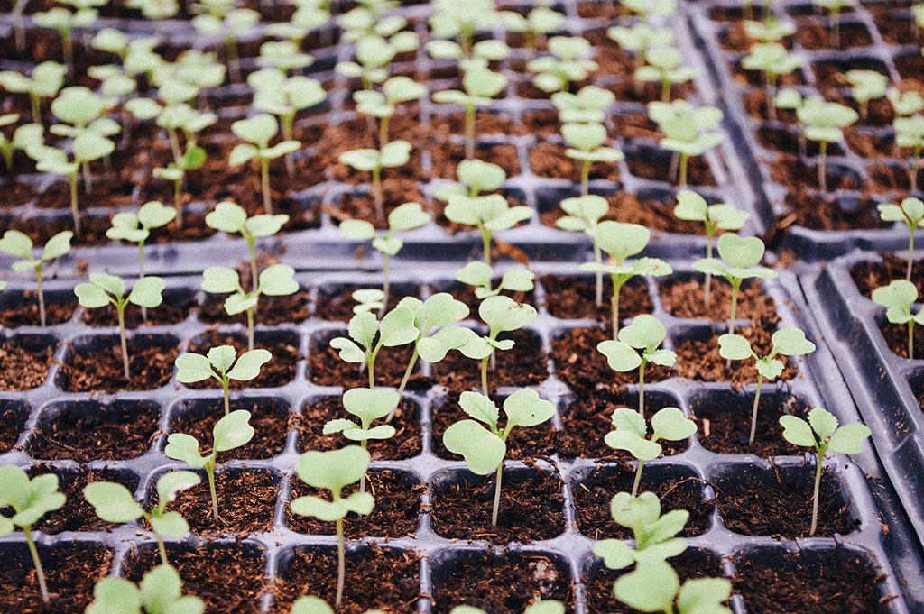 I ett odlingsbrätte får du plats med många plantor på en liten yta. När dessa skolas om kommer de att behöva allt större krukor och tar då allt mer plats.
