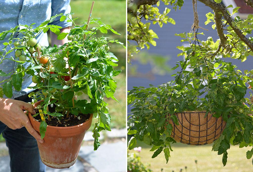 Tomater går utmärkt att odla i kruka eller ampel om du väljer en lågväxande sort. Foto: Markus Danielsson