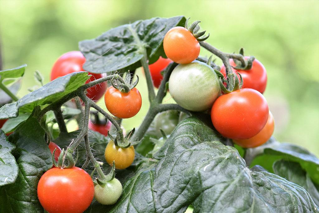 Bland våra klassiska medelstora, röda tomaterhittar vi en stor variation i smak. Att välja tomatsort kan vara svårt.