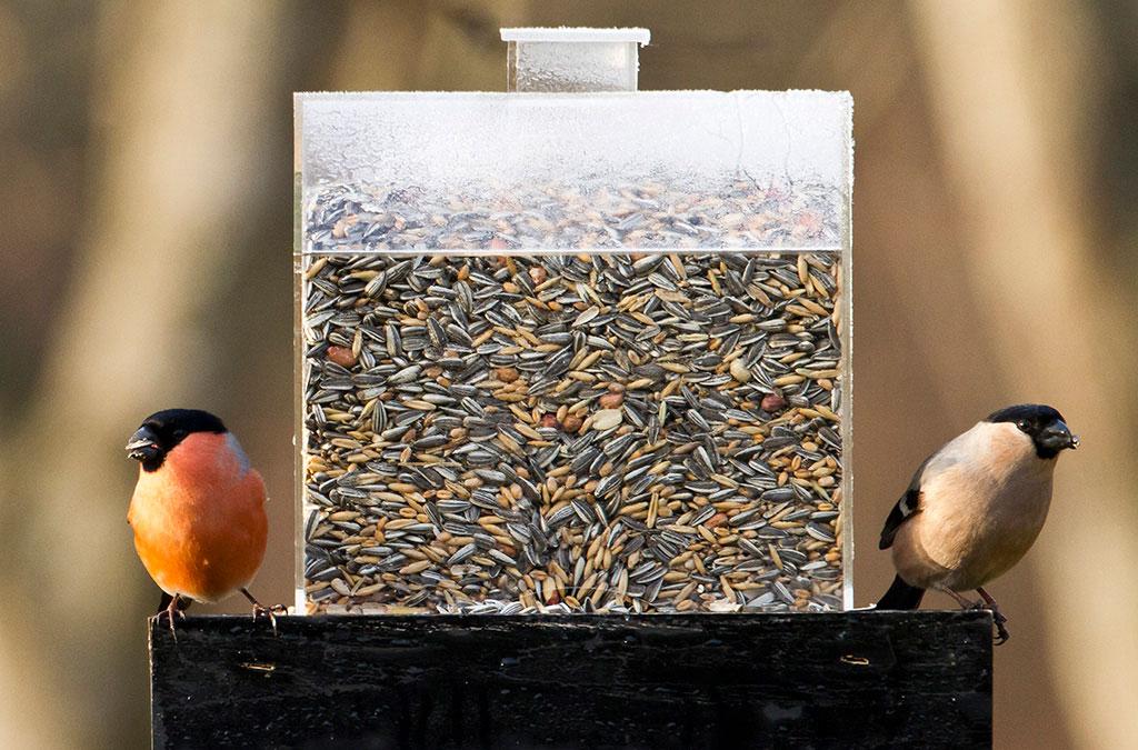 Domherrar känneteckna av sin röda fjäderdräkt - men det är bara hanfågeln som lyser röd. Honan är dock minst lika vacker i sina brunröda fjädrar. Foto: Lennart Hyse och Christer Svensk