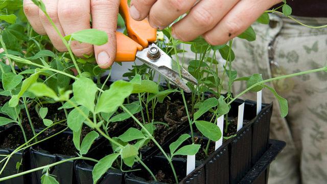 Växter som klättrar kan vara bra att vänta lite med. Foto: Annika Crhistensen
