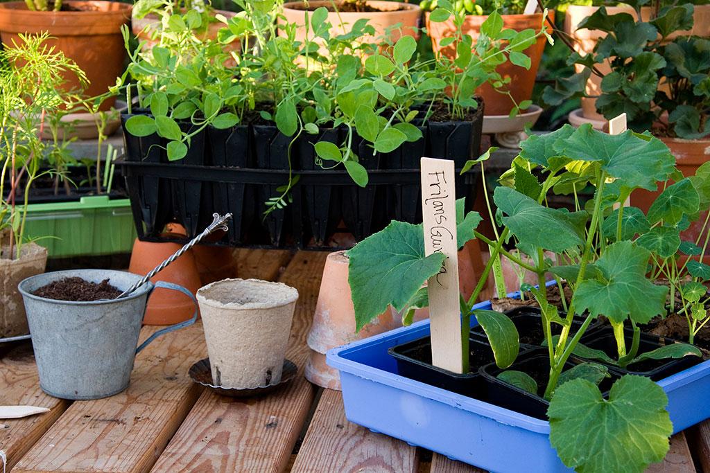 Frilandsgurkor är gurkor som inte behöver odlas i växhus utan kan nöja sig med en varm och vindskyddad plats i trädgården. Foto: Annika Christensen