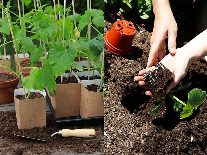 TH: Gurkplantor i väntan på att planteras ut. Foto: Anna Forslund TV:Vänj gärna dina plantor vid utelivet redan i krukan, så blir chocken mindre när de planteras ut på friland. Foto: Annika Christensen