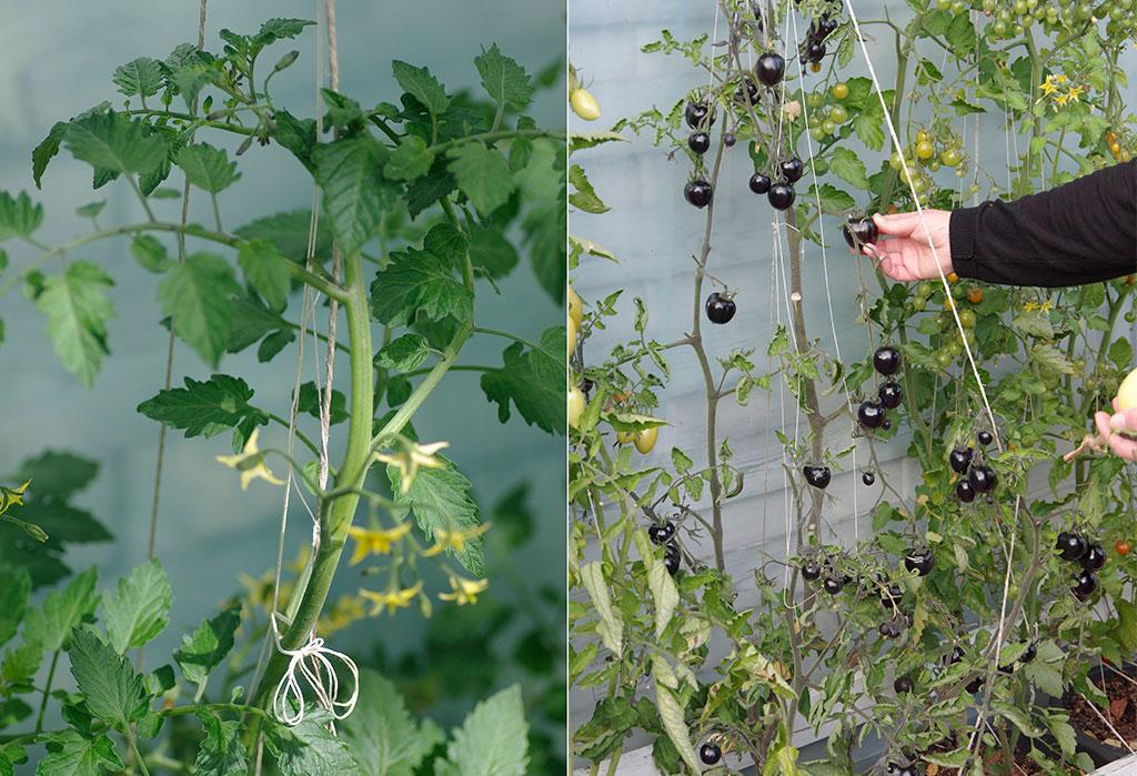 Högväxande tomater behöver bindas upp och är inte direkt en planta du har för dekoration.